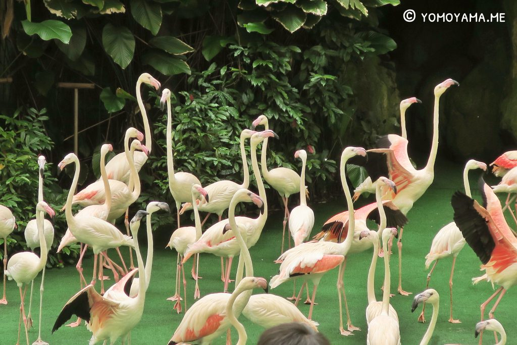 jurong bird park - pools amphitheatre flamingo