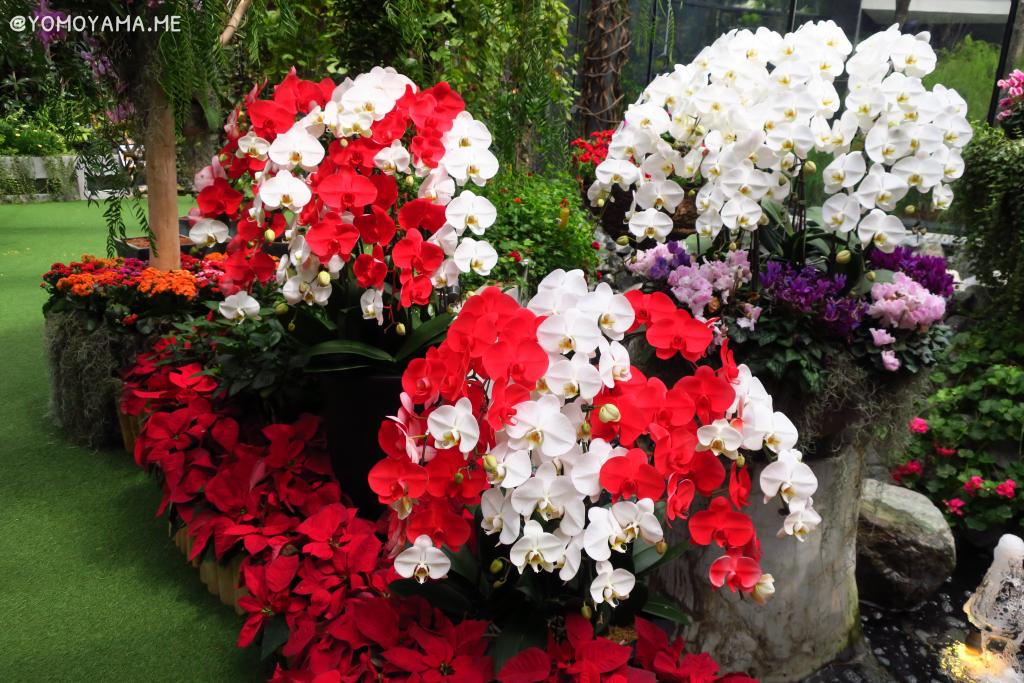 紅白の胡蝶蘭